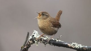 Winter Wren Singing