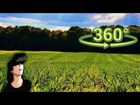 Панорамное Видео 360 VR 4K для очков виртуальной реальности. Гуляю по кукурузному полю. Красота