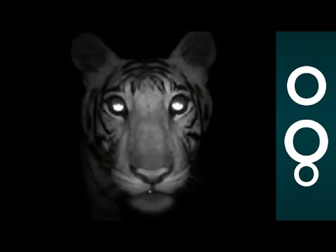 Can This Animal Disappeare? Camera With Sensors to Count Tigers - Science