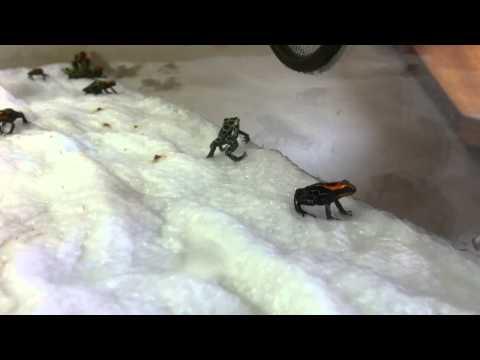 Ranitomeya froglets 1