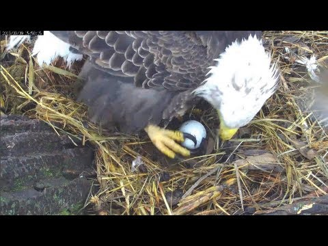 MNBound Eagles Mom Lays Her 1st Egg  3-9-13