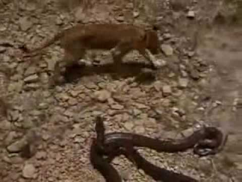 Have lion vs midget fighting team