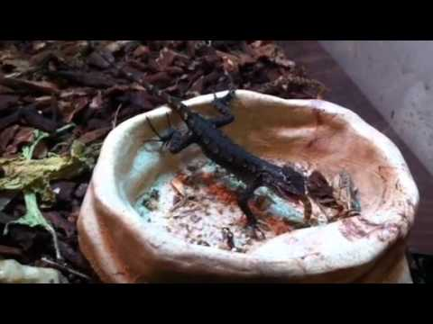 Lizards Eat Worms Eastern Fence Lizard Eats Worm