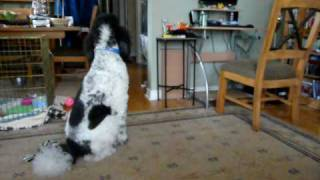 Standard poodle plays with new Standard Poodle Puppy Sister poodle