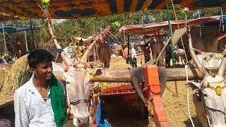 Bullock cart pulling Hallikar ox pair of Farmer Karthik from Basaralau Hobli at Basavanagudi Jhatre