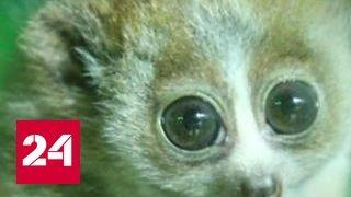 В Московском зоопарке на свет появились детеныши толстых лори