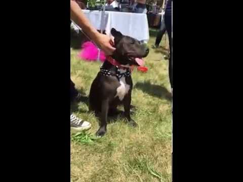 Jewell - Adoptable Pit Bull from The Pittie Stop Rescue in MA