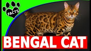 Cats 101: Bengal Cats - Top 10 Facts  - Facts and Information - Animal Facts