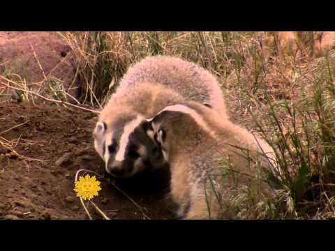 Nature: Jovial badgers