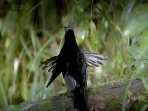 Bbc Natural World's (birds Of Paradise) © video