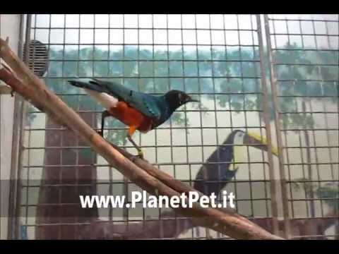 Storno superbo – www.PlanetPet.it