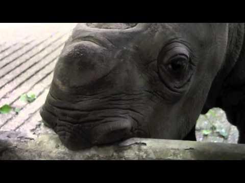 Baby Eastern Black Rhino - Cleveland Metroparks Zoo