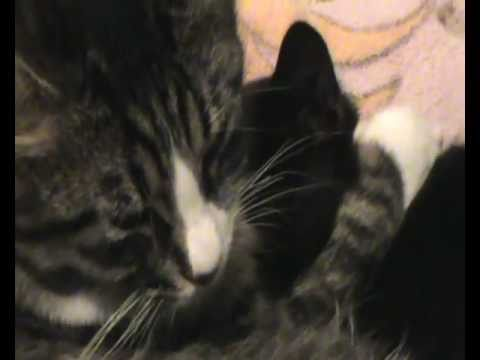 Two cute kittens purring and cuddling!
