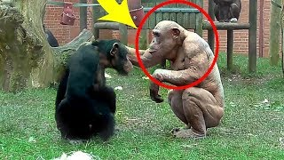 When These Chimpanzees Saw Their Strange Looking Brother, The Way They Treated Him Is Eye Opening