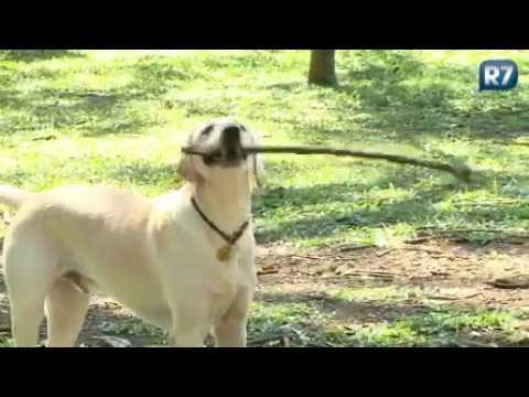 Conheça a profissão do dog walker