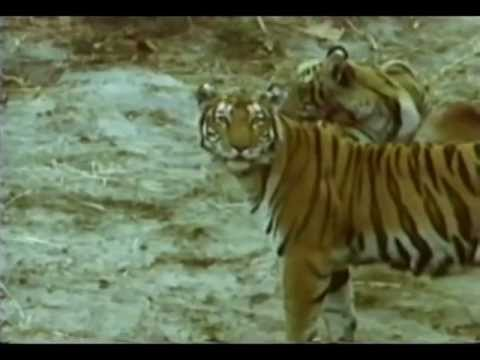 Predadores Selvagens - Tigre