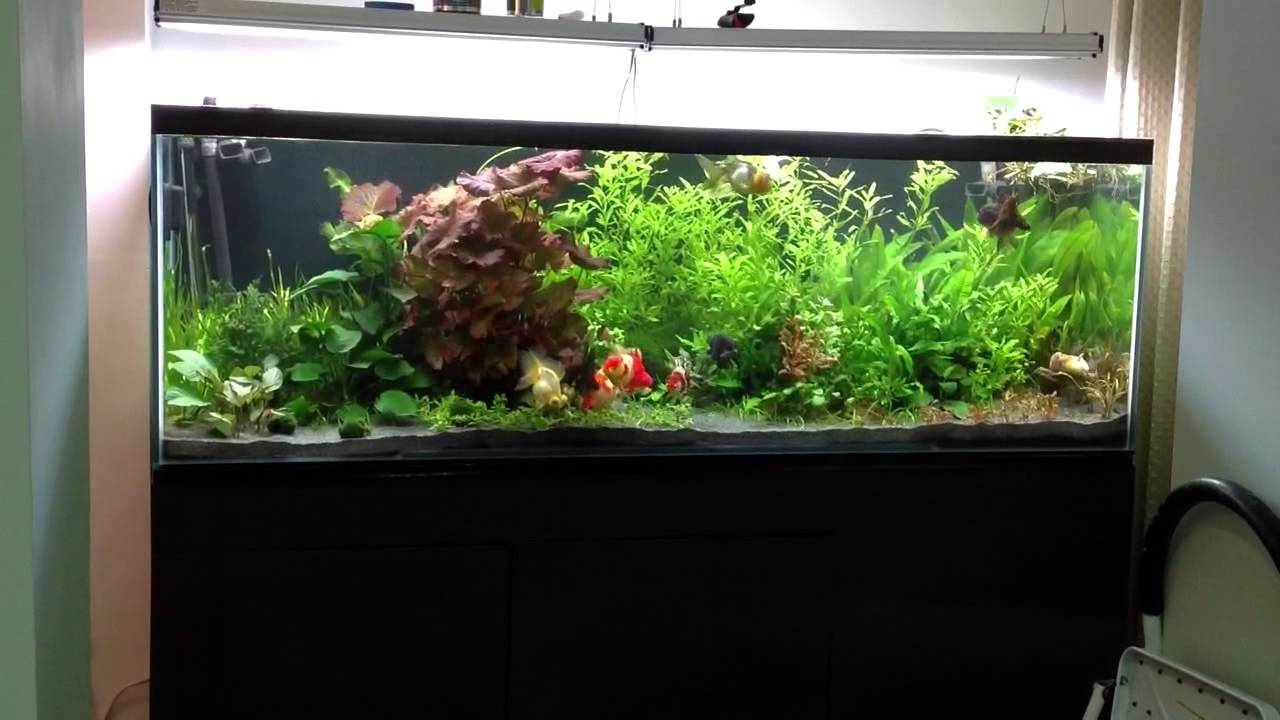 Fancy goldfish in 180 gallon planted aquarium youtube for Fancy fish tanks