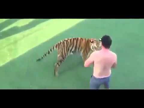 Схватка человека с тигром