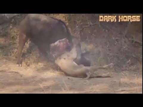 Sư tử săn mồi nhưng lại bị trâu rừng húc cho đến chết