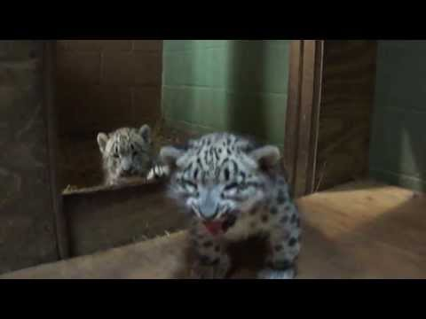 Cape May County Zoo..Snow Leopard Cubs..6/6/13..7 weeks old