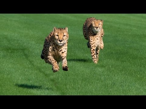 Houston Zoo Cheetahs Run at Sam Houston Race Park!