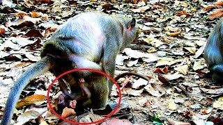 Oh my god pity baby TiTo , This action not good to carry baby monkey-Jollyrol seem angry Tito.