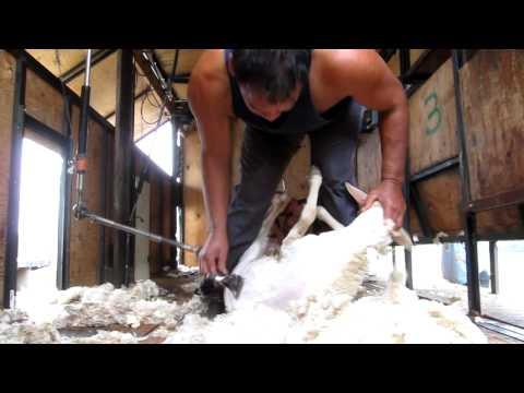 MVI_3235 Fast Sheep Shearing.MOV