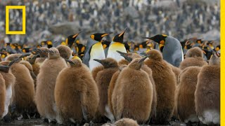 Go Inside an Antarctic 'City' of 400,000 King Penguins - Ep. 4 | Wildlife: Resurrection Island