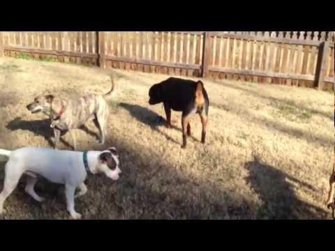 Rottweiler vs Pitbull Fights