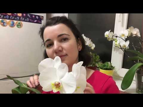 Мои цветущие орхидеи