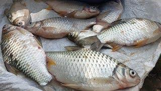 Ở quê kiếm cá mè dinh cho bữa cơm không khó chút nào l Cuộc sống miền quê