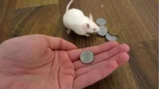 Ratón comprando queso