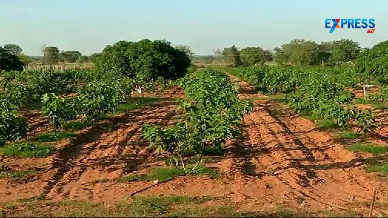 Papaya Fig Anjeer And Pomegranate Farming With