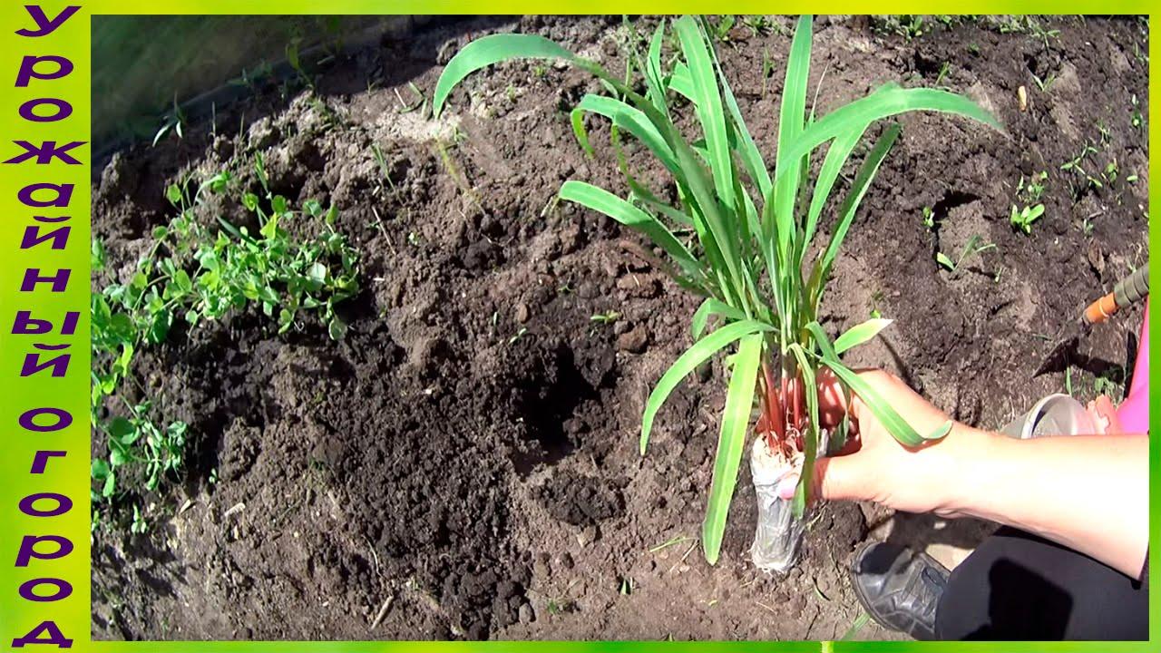 Как посадить рассаду кукурузы 92