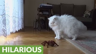 Cat hilariously reacts to remote controlled spider