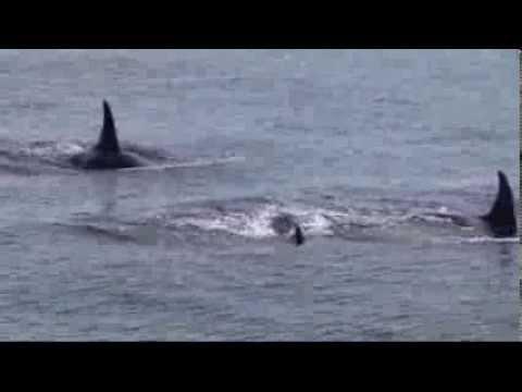 Wild Orcas of Puget Sound
