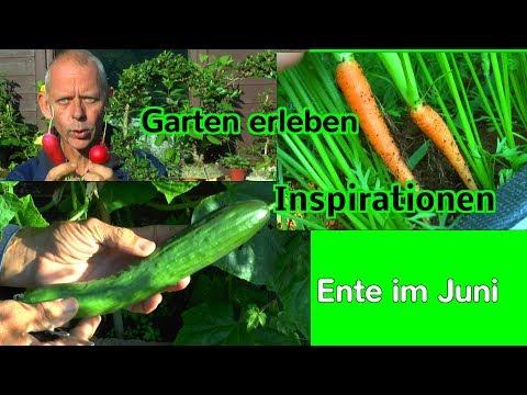 Garten Gemüse ernten im Juni Inspirationen für kleine Gärten Topf und Hochbeete