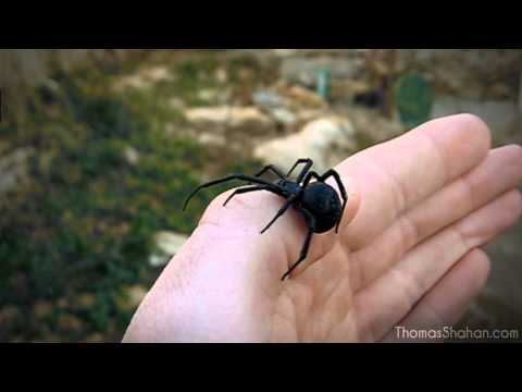 Handling a Female Black Widow Spider (Latrodectus mactans)