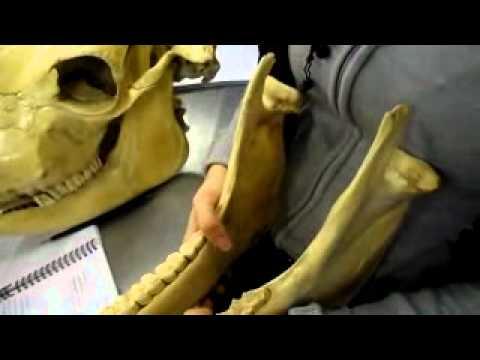 huesos de cabeza (Bovino y Equino)