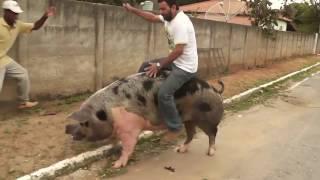 # Maior Porco e um maior TOMBO!!!