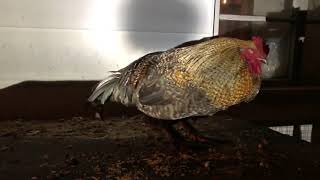 4 Way Rooster Fights!   Establish A Pecking Order!
