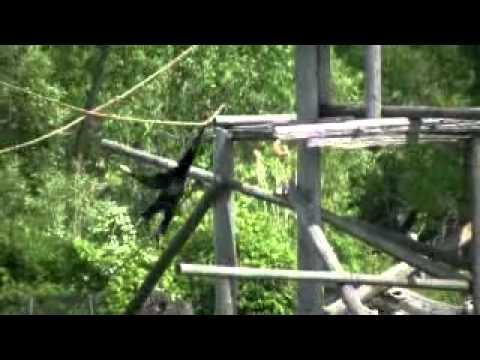 Slingerende aap