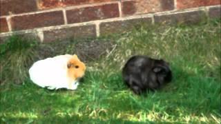 My guinea pigs- Coco and Fudge xxxxxx