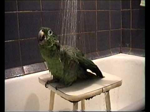 Попугай Гриша принимает Душ.