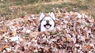 Funny Dogs Playing in Leaves Compilation 2013