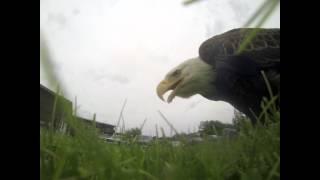 El águila al que no le gusta que le graben... y manga la cámara