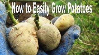 How to Successfully Grow Potatoes - Organic Vegetable Gardening