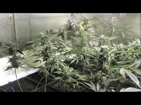 Marihuana Television News 01