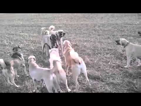Giant Kangal Dogs Fighting video