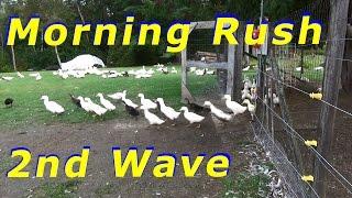Lots Of False Alarms By The Ducks For The Predator Fox #13 Raising Free Range Ducks